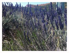 Lavender bush at Sausalito