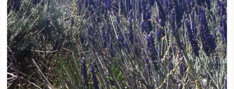 Lavender bush at Sausalito