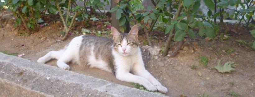 haghia cat