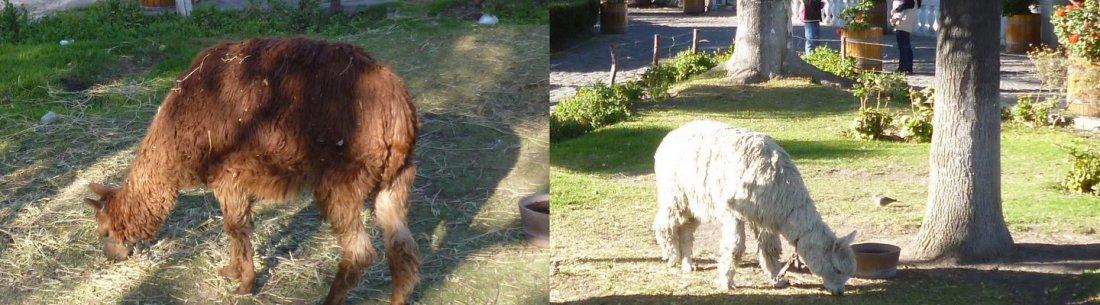 los alpacas